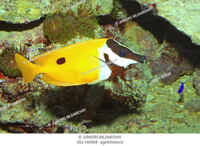 Foxface Rabbitfish / Siganus unimaculatus