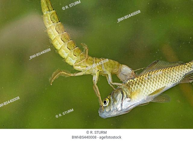 Great diving beetle (Dytiscus marginalis), larva has caught a fish, Germany, Bavaria, Niederbayern, Lower Bavaria