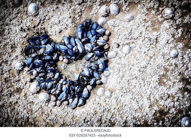 Mussels growing in shape of heart. Love and feelings concept