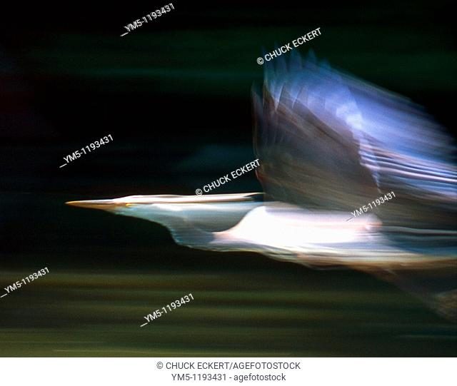 Blurred Great Blue Heron in Flight