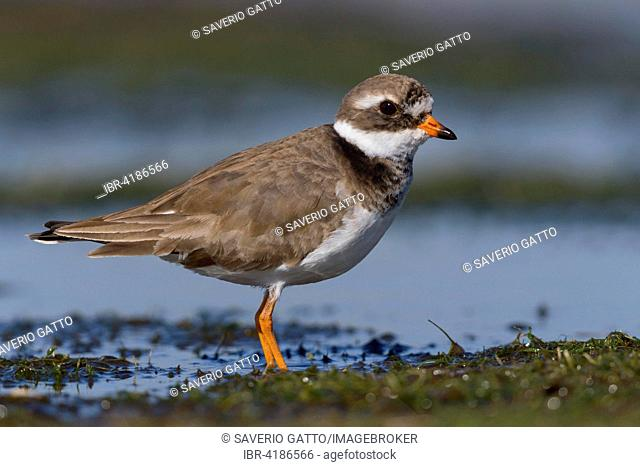 Ringed Plover (Charadrius hiaticula), standing on the mud, Campania, Italy