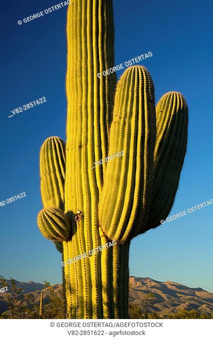 Saguaro along Cactus Forest Drive, Saguaro National Park-Rincon Mountain Unit, Arizona