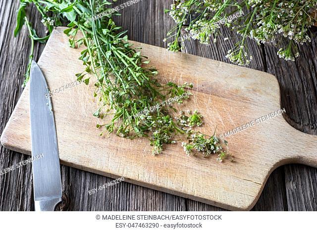 Cutting shepherd's purse twigs to prepare homemade herbal tincture