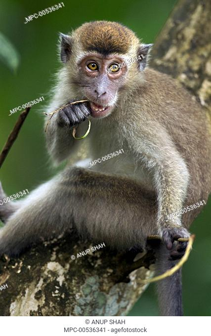Long-tailed Macaque (Macaca fascicularis) juvenile male chewing on a piece of vegetation, Bako National Park, Sarawak, Borneo, Malaysia