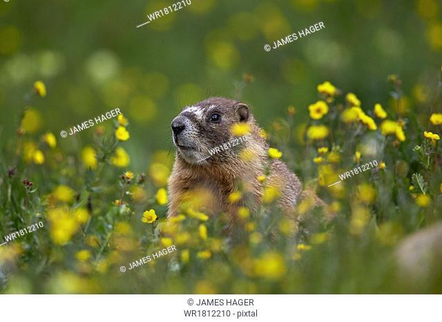 Yellow-bellied marmot (yellowbelly marmot) (Marmota flaviventris), San Juan National Forest, Colorado, United States of America, North America