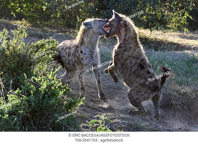 Spotted hyenas (Crocuta crocuta) fighting, Masai Mara National Reserve, Kenya, Africa