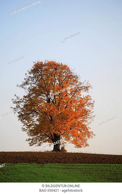 Limetree in autumn