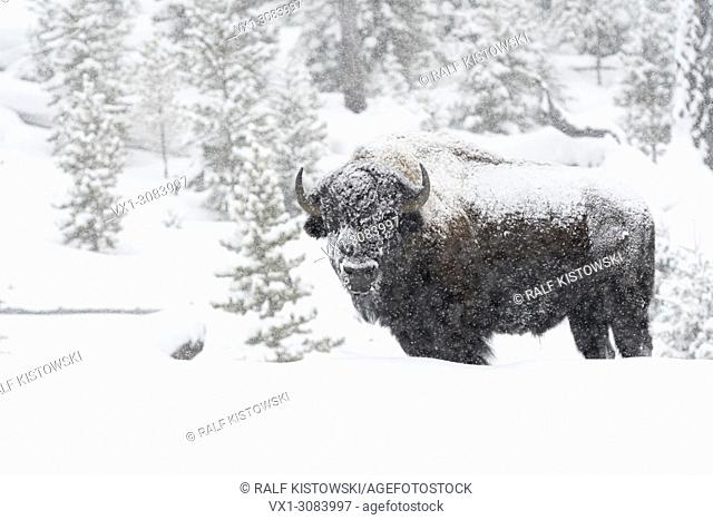 American Bison ( Bison bison ) in winter, old bull covered with snow during heavy snowfall, Yellowstone, Wyoming, USA