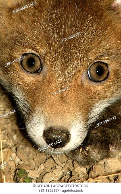Red Fox, vulpes vulpes, Head of Cub, Close-up, Normandy