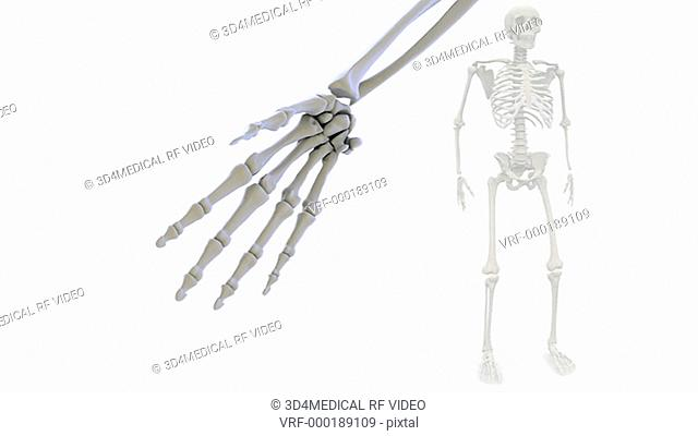 Animation depicting the bones of the hand, wrist and lower arm. The camera pans from the inside to the outside of the hand over the course of the movie