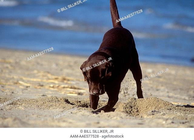 Chocolate Labrador Retriever (Canis familiaris) digging on Maine Beach