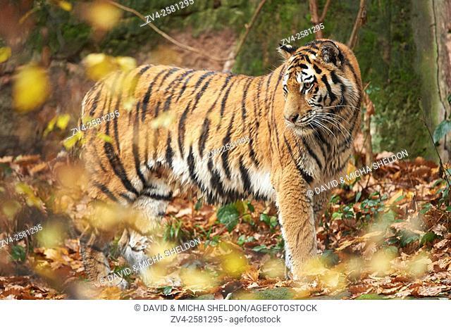 Siberian tiger or Amur tiger (Panthera tigris altaica) in autumn. Captive. Germany