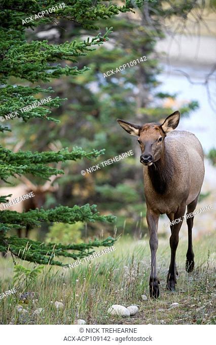 Female Elk, Cervus canadensis nelsoni, Rocky Mountains, Alberta, Canada