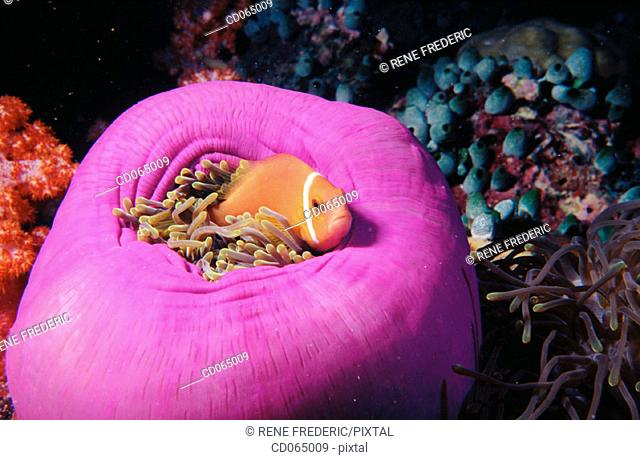 Maldives Anemonefish (Amphiprion nigripes). Maldive Islands