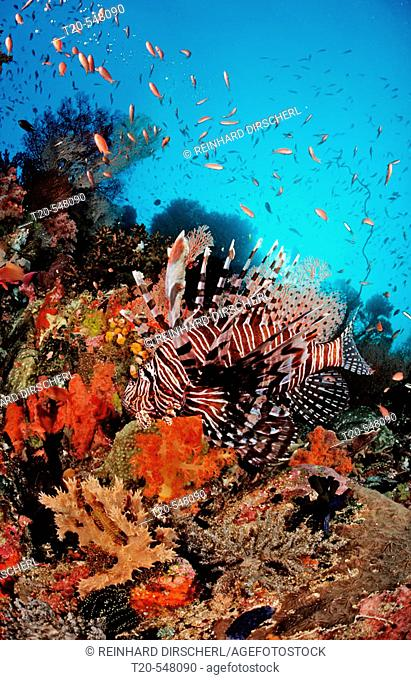 Lionfish, Turkeyfish, Pterois volitans, Bali, Indian Ocean, Indonesia