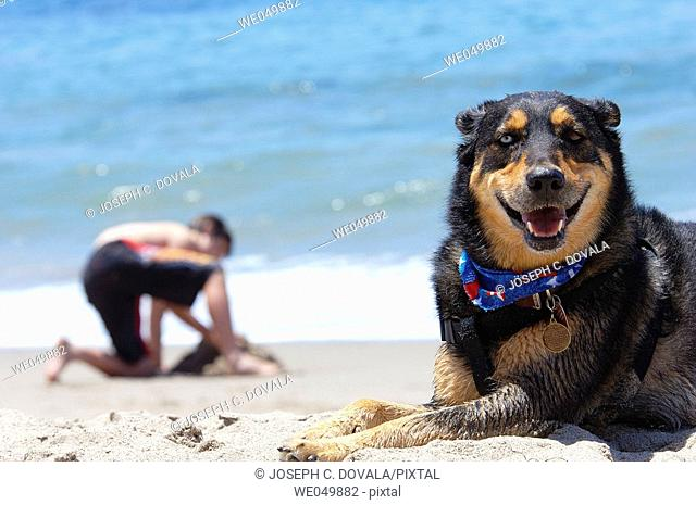Sheppard mix on beach with boy playing in sand. Malibu, California, USA