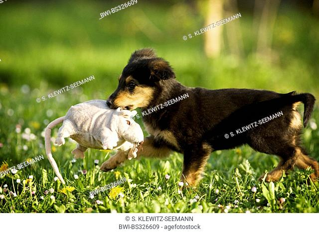 mixed breed dog (Canis lupus f. familiaris), whelp with soft toy rat in the mouth, mix breed dog of Old German Sheepdog and dachshund, Germany