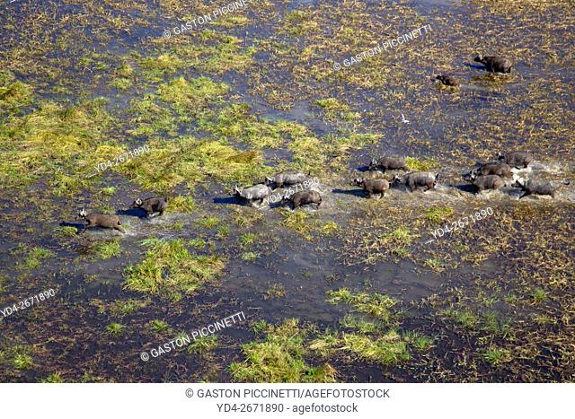 Aerial view of African buffalo or Cape buffalos group (Syncerus caffer). Okawango Delta, Botswana. The Okavango Delta is home to a rich array of wildlife