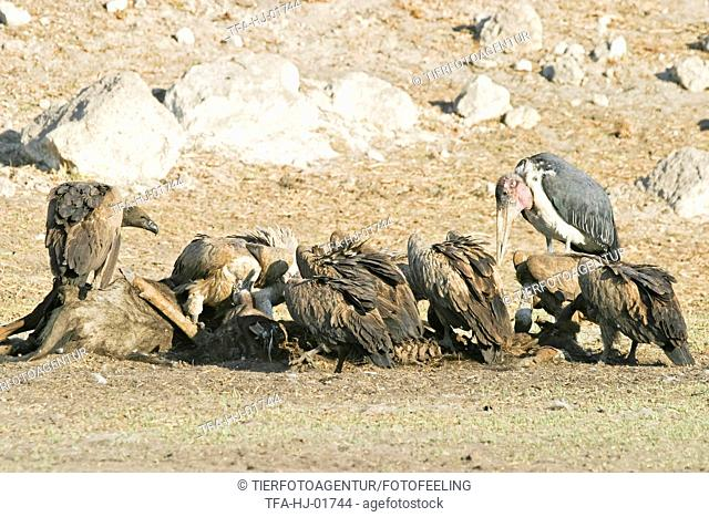 Cape Griffons and Marabou Stork