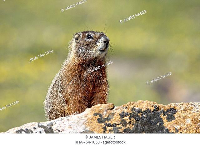 Yellowbelly marmot Marmota flaviventris, Shoshone National Forest, Wyoming, United States of America, North America