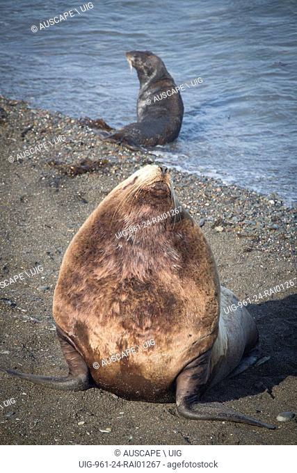 Northern fur seals, Callorhinus ursinus, bull raised up, female beyond in shallows. Tyuleniy Island, Kuril Islands, Russia. (Photo by: Auscape/UIG)