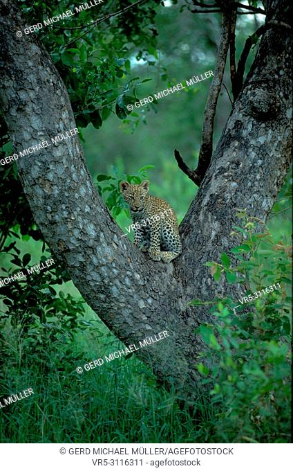 South Africa: A leopard-baby is sitting on a tree-fork in Shamwari Game Reserve