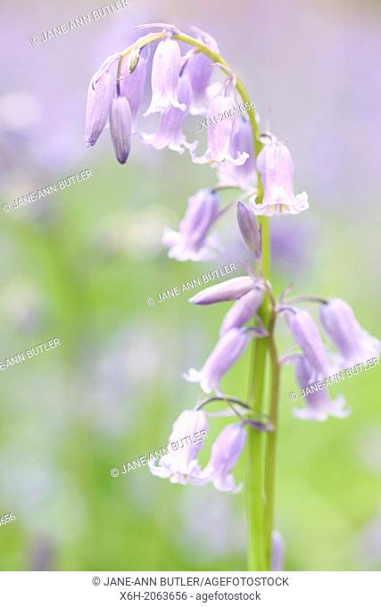 a beautiful close up of a bluebell stem within a field of bluebells