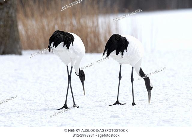 Japanese crane, Red-crowned crane (Grus japonensis) couple, Japan