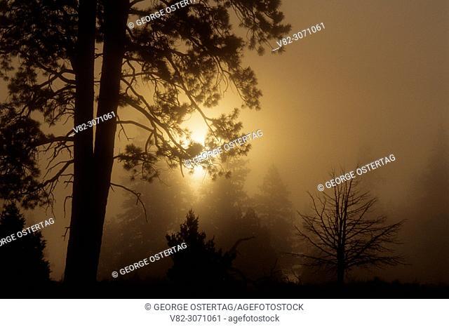Ponderosa pine in fog at Antelope Flat, Fremont National Forest, Oregon