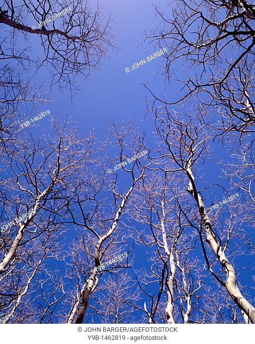 Leafless quaking aspen Populus tremuloides reach skyward, near Lehman Creek, Great Basin National Park, Nevada