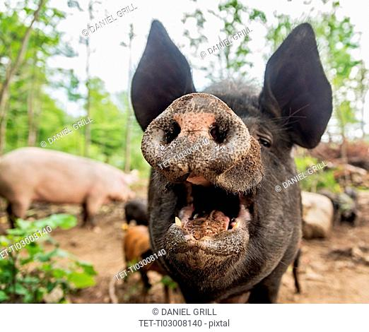 USA, Maine, Knox, Close-up view of pig with open mouth