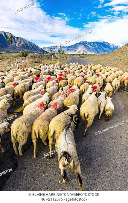 Herding sheep and goats, Nedong, Tibet (Xizang), China