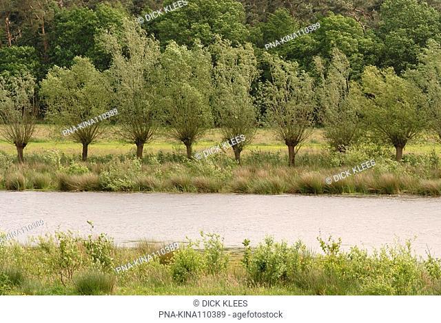 Willow Salix - Pannenhoef, Etten-Leur, North Brabant, The Netherlands, Holland, Europe