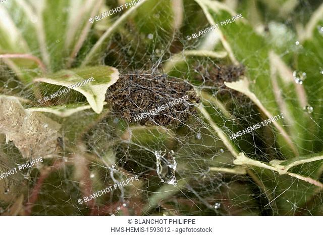 France, Araneae, Pisauridae, Nursery web spider (Pisaura mirabilis), young spiders in the nursery web