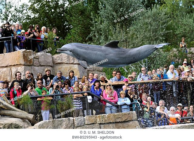bottlenosed dolphin, common bottle-nosed dolphin (Tursiops truncatus), jumping in front of visitors of a dolphin show
