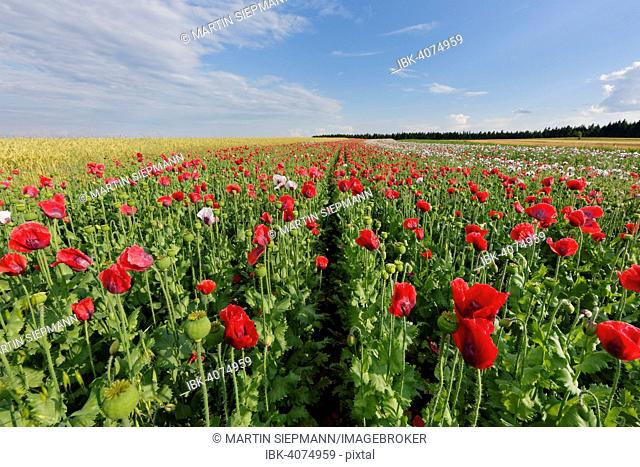 Field of poppies, Opium Poppy (Papaver somniferum), near Sallingberg, Waldviertel, Lower Austria, Austria