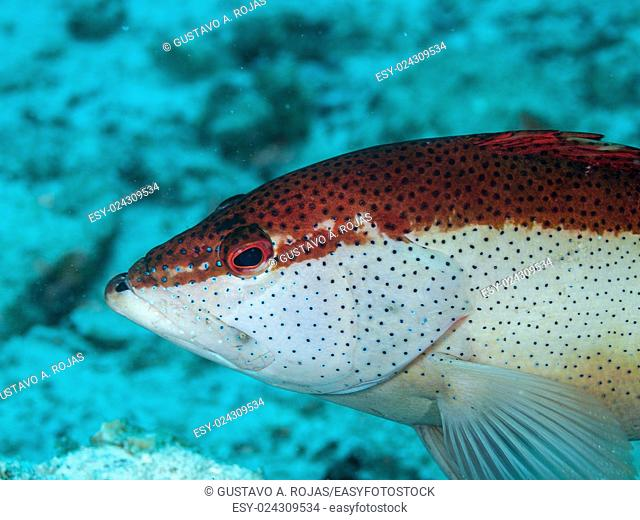 EPINEPHELUS FULVUS, Los Roques, Venezuela phase coloration red and white with some blue spots