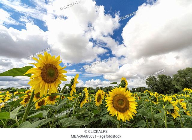 Sunflowers and clouds in the rural landscape of Senigallia province of Ancona Marche Italy Europe