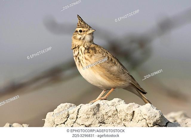 Crested lark, Galerida cristata, Tal Chhapar Sanctuary, Rajasthan, India