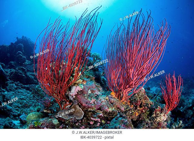 Red Sea Whip (Ellisella ceratophyta), Palau