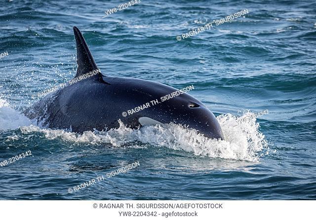 Orca Whale, Grundarfjordur, Iceland