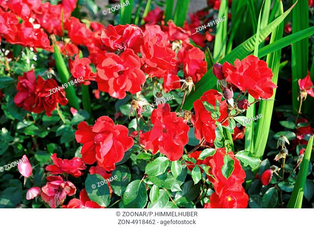 Hybrid-Rose