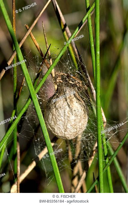 black-and-yellow argiope, black-and-yellow garden spider (Argiope bruennichi), Egg case of wasp spider (Argiope bruennichi) suspended among silk threads out of...