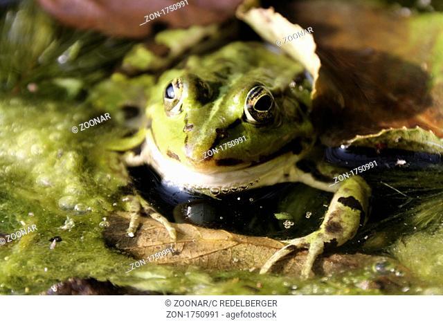 Skeptical frog in water