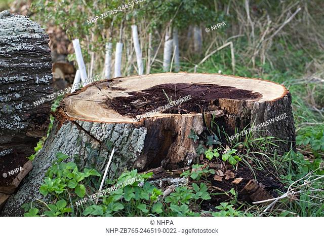 English Oak. Quercus robur. Felled trunk, showing cross-section of rotting interior wood. Tree growing on roadside, considered dangerous, so felled