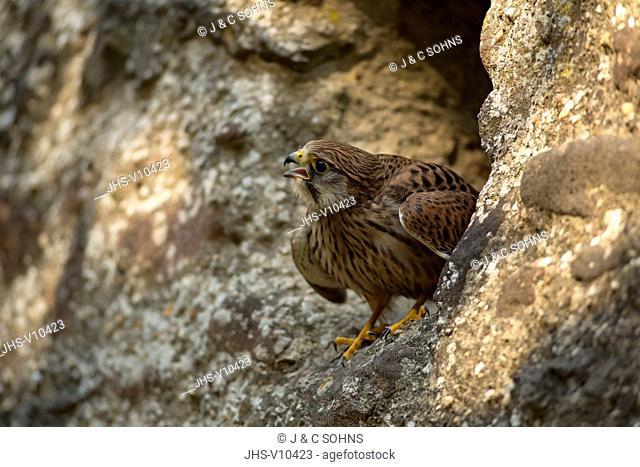 European Kestrel, Common Krestel, (Falco tinnunculus), adult on rock calling, Pelm, Kasselburg, Eifel, Germany, Europe