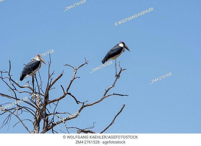 Marabou storks (Leptoptilos crumenifer) perched in a tree in the Masai Mara National Reserve in Kenya