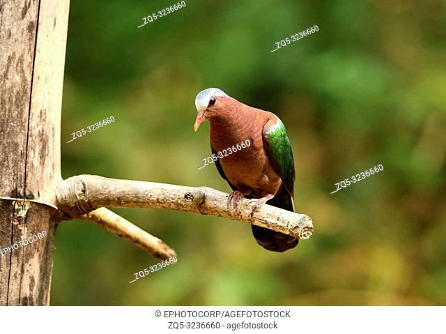 Emerald Dove, Chalcophaps indica, Ganeshgudi, Karnataka, India