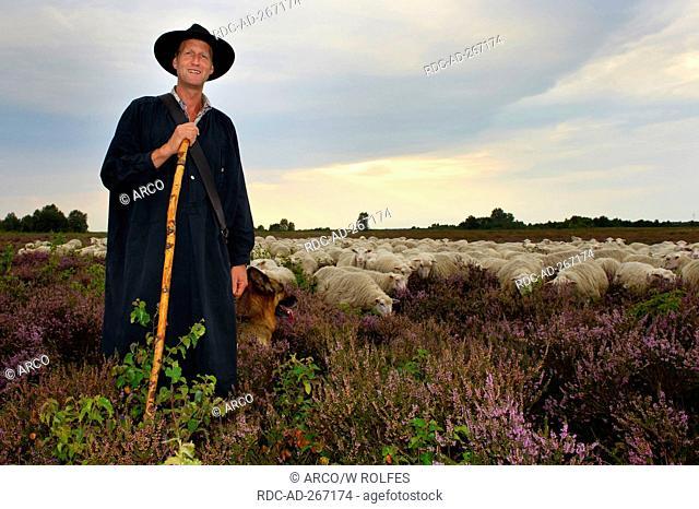 Shepherd with flock of Domestic Sheep, Diepholzer Moorniederung, Lower Saxony, Germany / Moorland Sheep