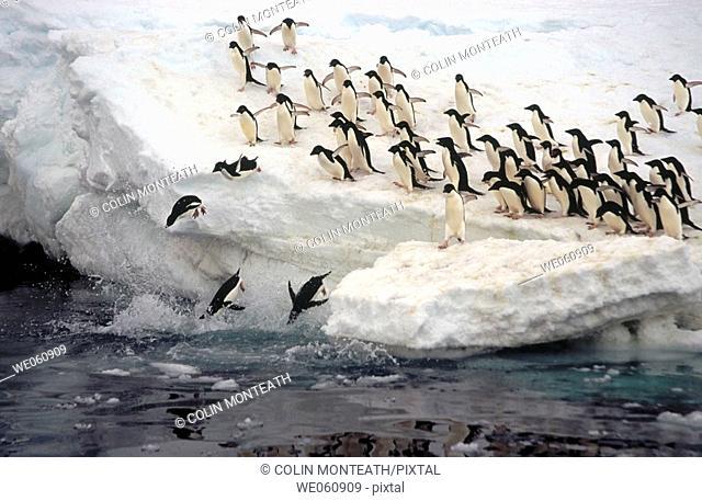 Adelie Penguins (Pygoscelis adeliae). Eroded Iceberg. Dumont d'Urville. Antarctica